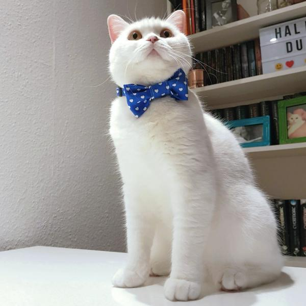 Cat Collar With Bow Tie - Hearts - Blue